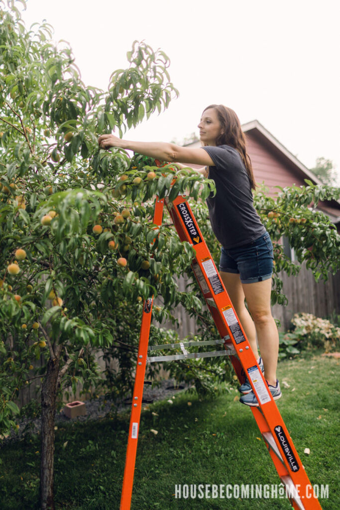 Picking Peaches with 8 ft Louisville Ladder